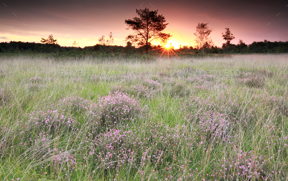 purple sunrise over marsh with heather - Stock Photo - Images