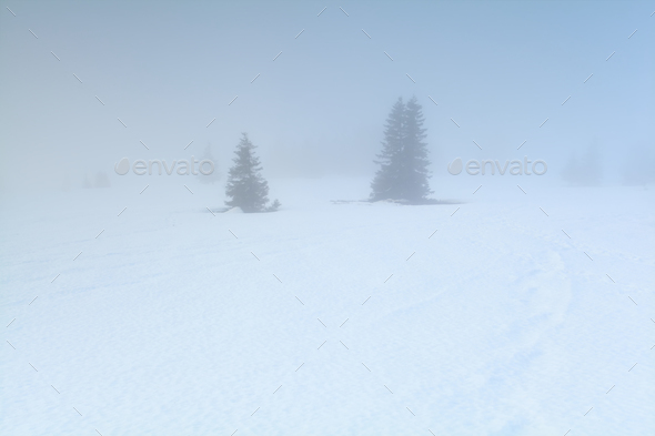 spruce trees in dense fog in winter - Stock Photo - Images