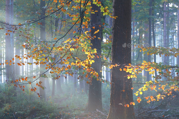 sunbeams in misty autumn forest - Stock Photo - Images