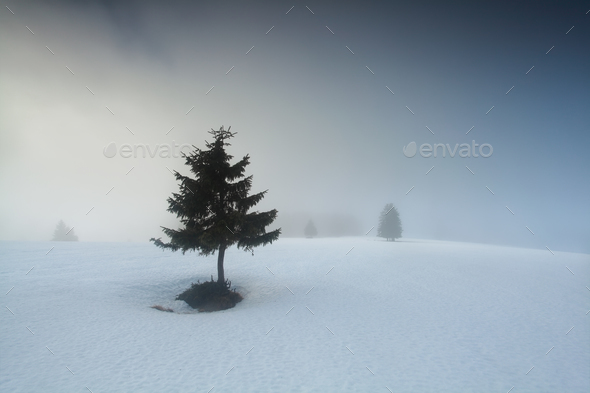 small pine tree in dense fog - Stock Photo - Images