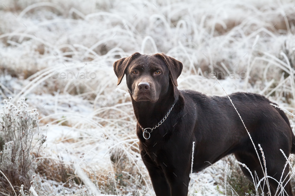 cute brown labrador dog on frosted meadow - Stock Photo - Images