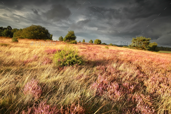 hill with junipers, heather and grass - Stock Photo - Images