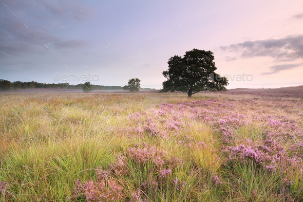 pink flowering heather on meadow - Stock Photo - Images