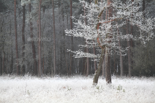 trees in winter frost in forest - Stock Photo - Images