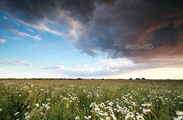 beautiful sky over chamomile field - Stock Photo - Images