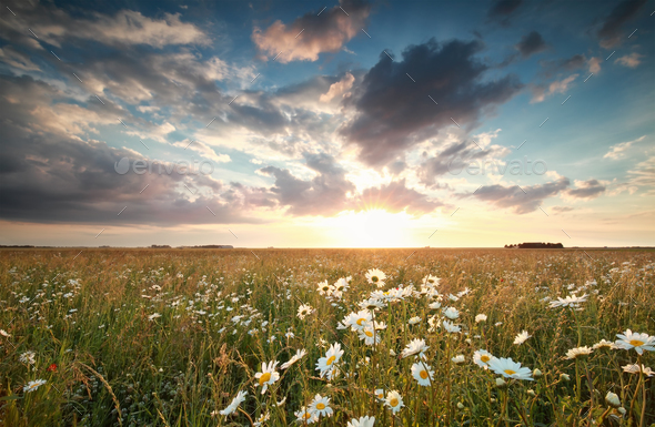 sunlight over field with chamomile flowers - Stock Photo - Images