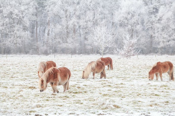 few pony grazing on snowy pasture - Stock Photo - Images