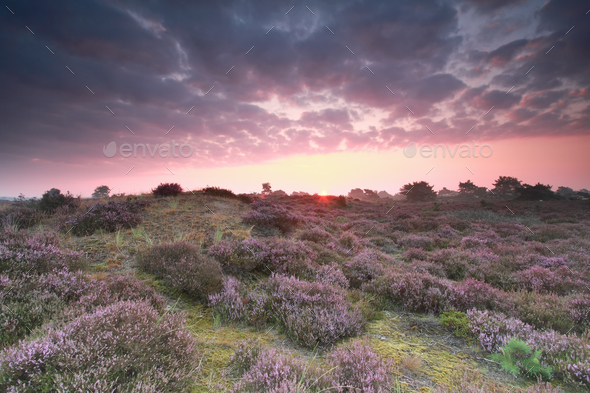 pink sunrise and pink heather flower - Stock Photo - Images