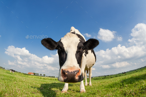 funny close up cow on green grass pasture - Stock Photo - Images