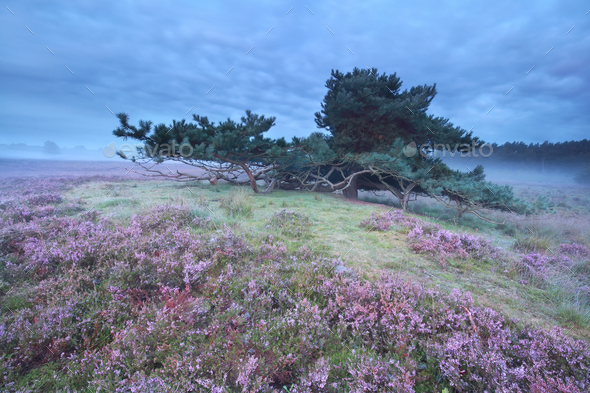 pine tree surrounded with pink heather - Stock Photo - Images