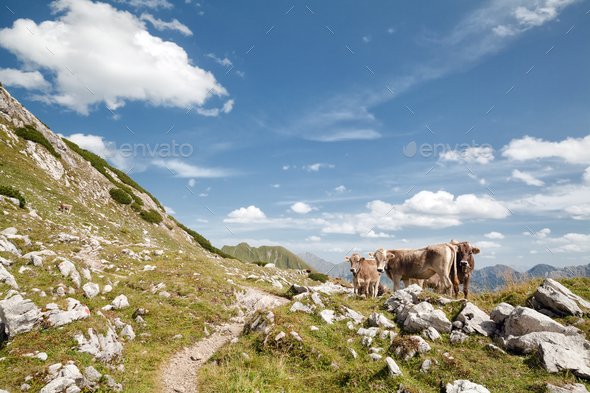 brown alpine cows on pasture in mountains - Stock Photo - Images