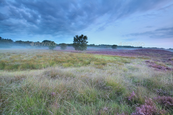 summer morning on marsh with heather - Stock Photo - Images