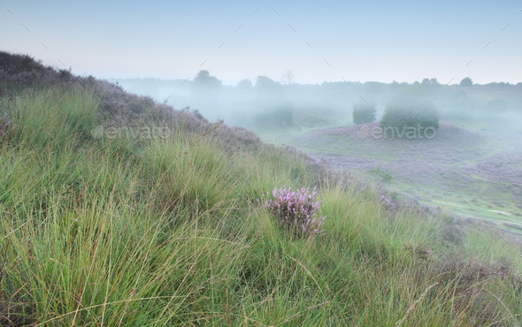 green hills and pink heather - Stock Photo - Images