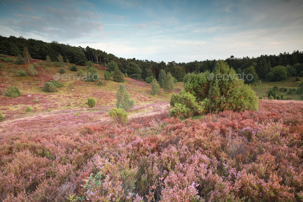 pink hills with flowering heather - Stock Photo - Images