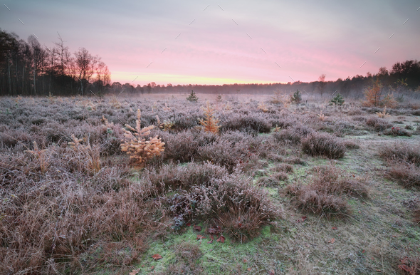 frosted heathland with larches at sunrise - Stock Photo - Images
