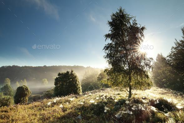 sunlight through birch tree - Stock Photo - Images