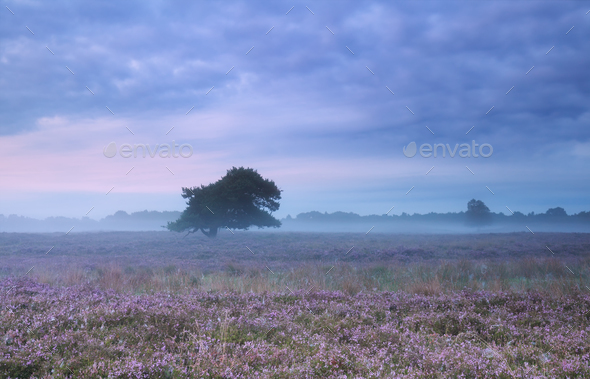 misty morning on heather flowering meadow - Stock Photo - Images