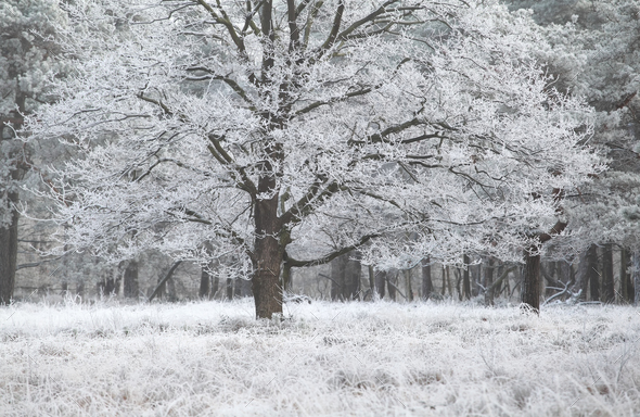 oak tree covered with frost - Stock Photo - Images