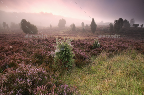misty sunrise and blooming heather - Stock Photo - Images