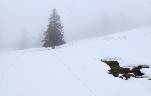 spruce tree on hill in winter - Stock Photo - Images