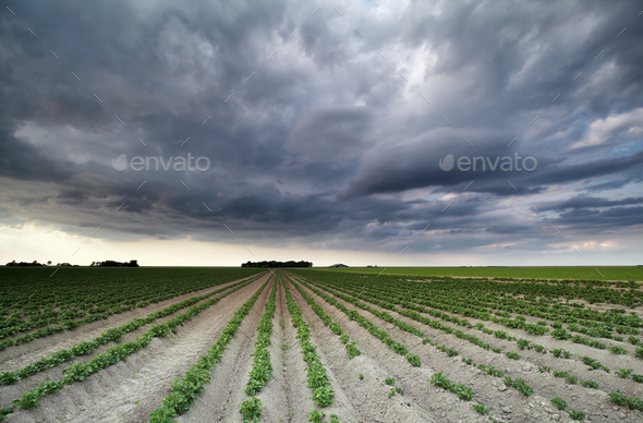 stormy sky over potato field - Stock Photo - Images