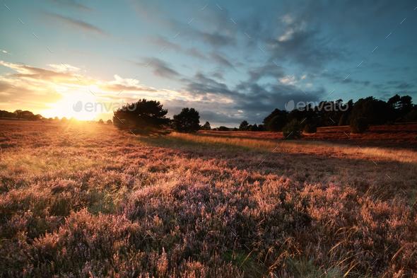 golden evening sunlight over flowering meadow - Stock Photo - Images