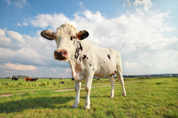 cow on green grass pasture - Stock Photo - Images