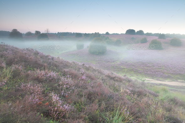 mist morning on heather flowering hills - Stock Photo - Images