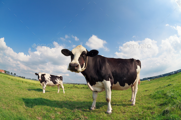 two cows on green pasture on sunny day - Stock Photo - Images