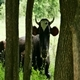 Cow Among the Trees - VideoHive Item for Sale