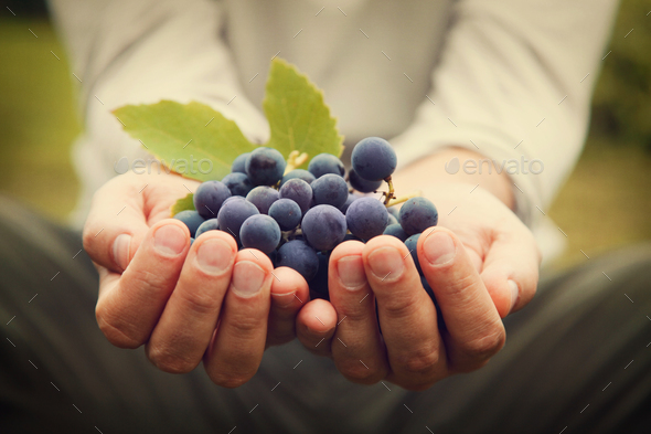 Grapes in hands - Stock Photo - Images