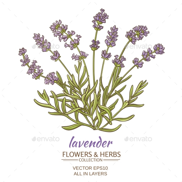 Lavender - Flowers & Plants Nature