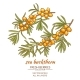 Sea Buckthorn Vector Illustration