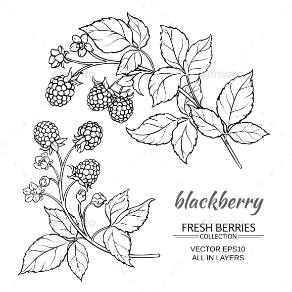 Blackberry Vector Set - Food Objects