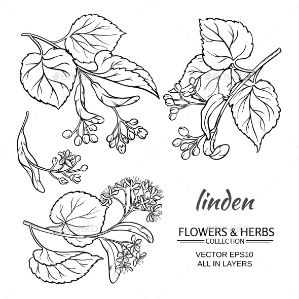 Linden Vector Set - Flowers & Plants Nature