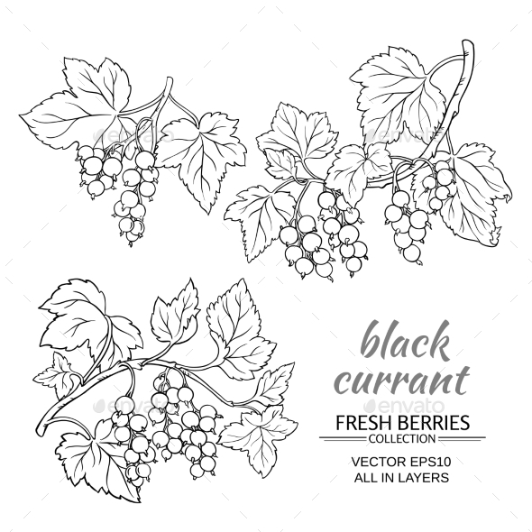 Black Currant Vector Set - Food Objects