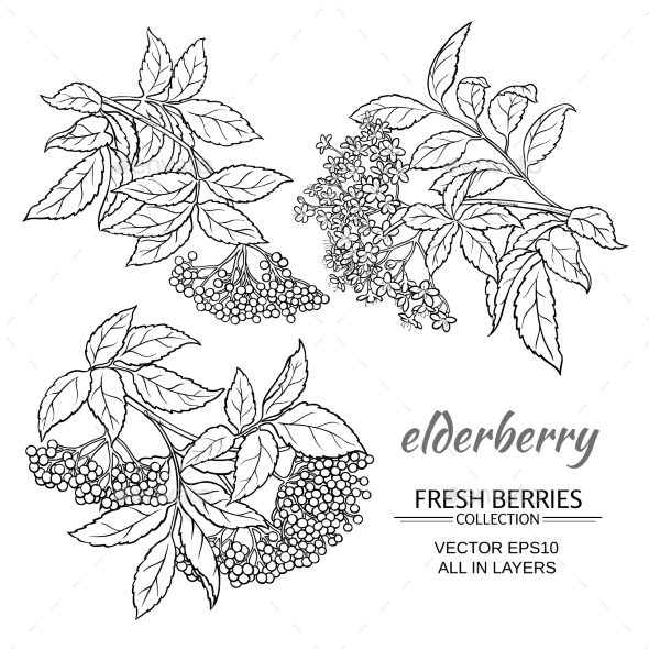 GraphicRiver Elderberry Vector Set 21194603