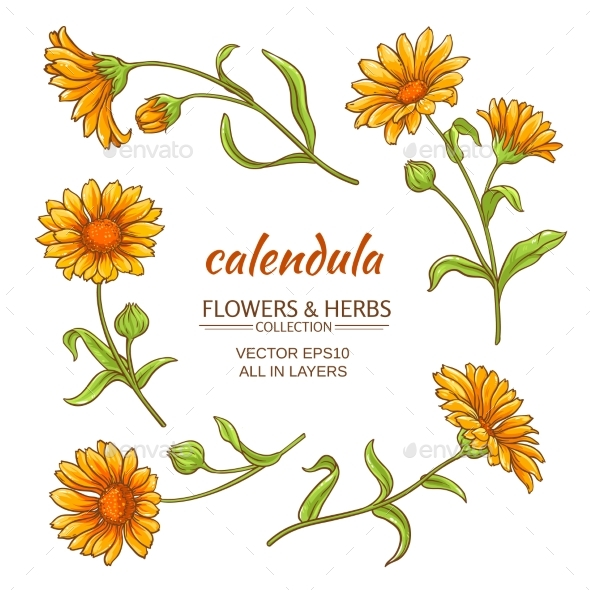 GraphicRiver Calendula Vector Set 21194615