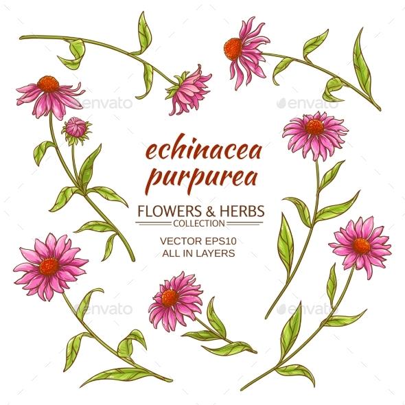 Echinacea Purpurea Vector Set - Flowers & Plants Nature