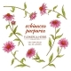 Echinacea Purpurea Vector Set
