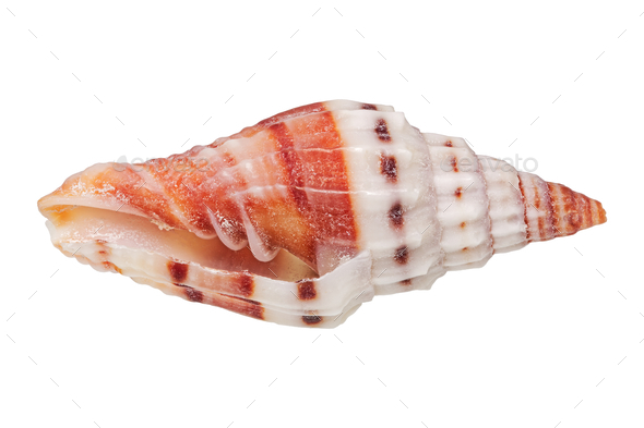 Sea shell on a white background - Stock Photo - Images