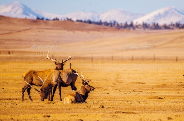 Colorado Mountains Elks - Stock Photo - Images