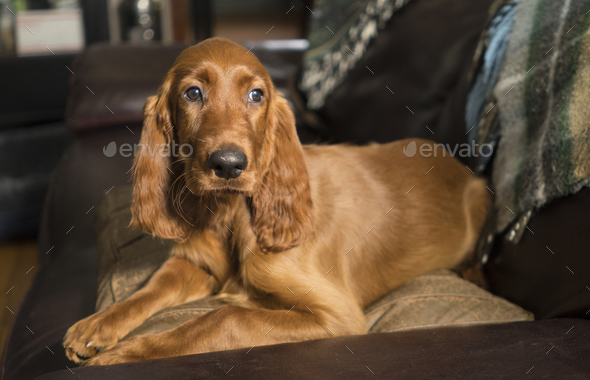 Young Canine Irish Setter Rust Coat Laying Down - Stock Photo - Images