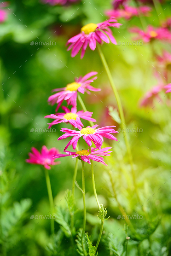 Chamomile flowers are purple on a garden on a sunny day. - Stock Photo - Images