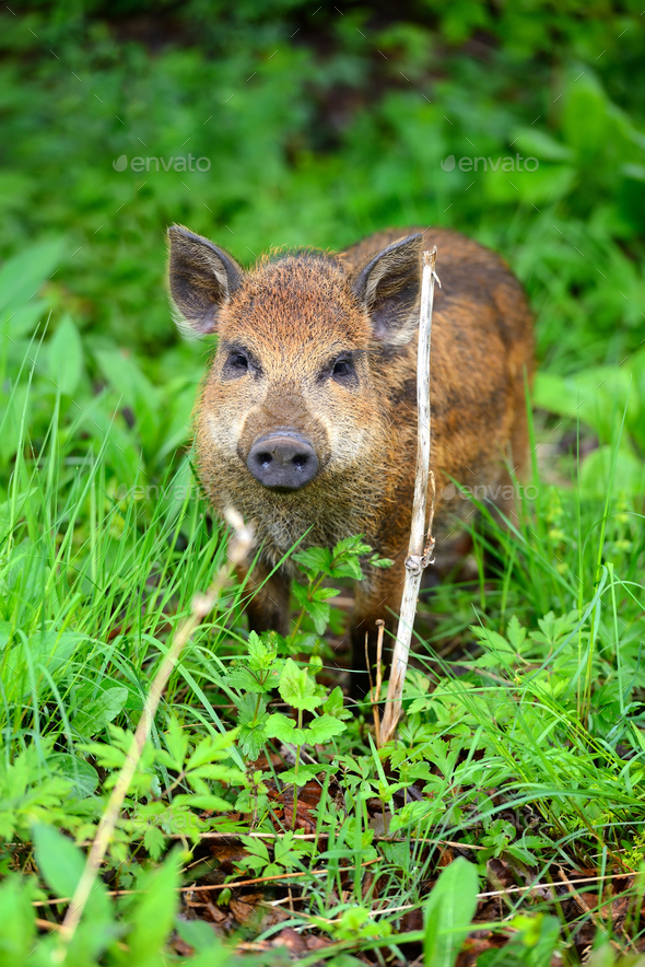 Young wild boar in the spring forest - Stock Photo - Images