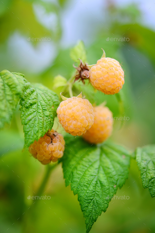 Yellow raspberries on a Bush in the garden - Stock Photo - Images