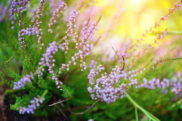 Fabelhaft Beautiful blossoming purple heather (Calluna vulgaris) as a back #AC_36