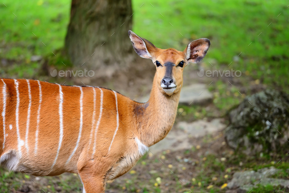 Female nyala antelope (Tragelaphus angasii) - Stock Photo - Images