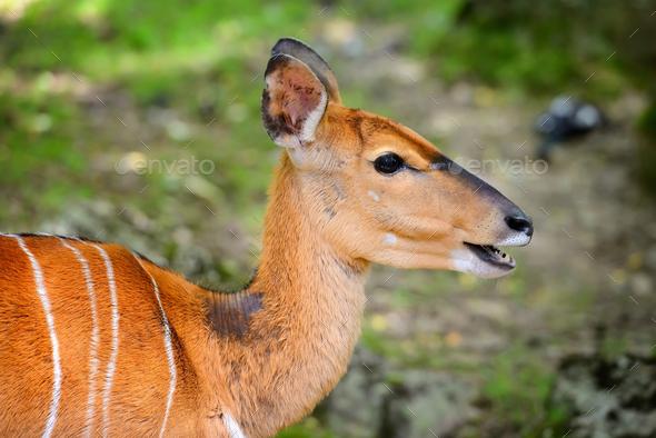 Lowland Nyala (Tragelaphus angasii) portrait of a cute famale - Stock Photo - Images