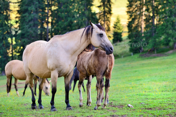 Horses on the meadow in the mountains - Stock Photo - Images